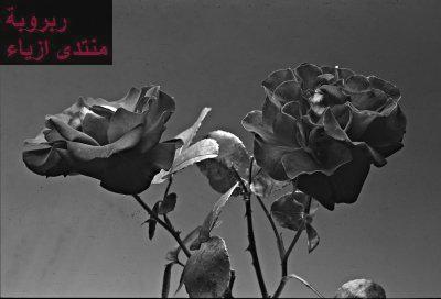 من الخلفيات الجديدة للزهور والورود عالية الدقة ورائعةالى كل من