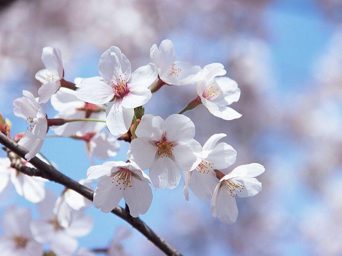 دبيقصتين قصيرتين معبرتين جدا شجرة السآكورا الوردية ..