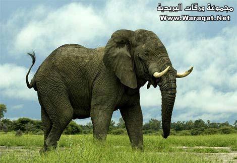 إذا مات الفيل وهو واقف فانه يظل واقفاً لبضع ساعات
