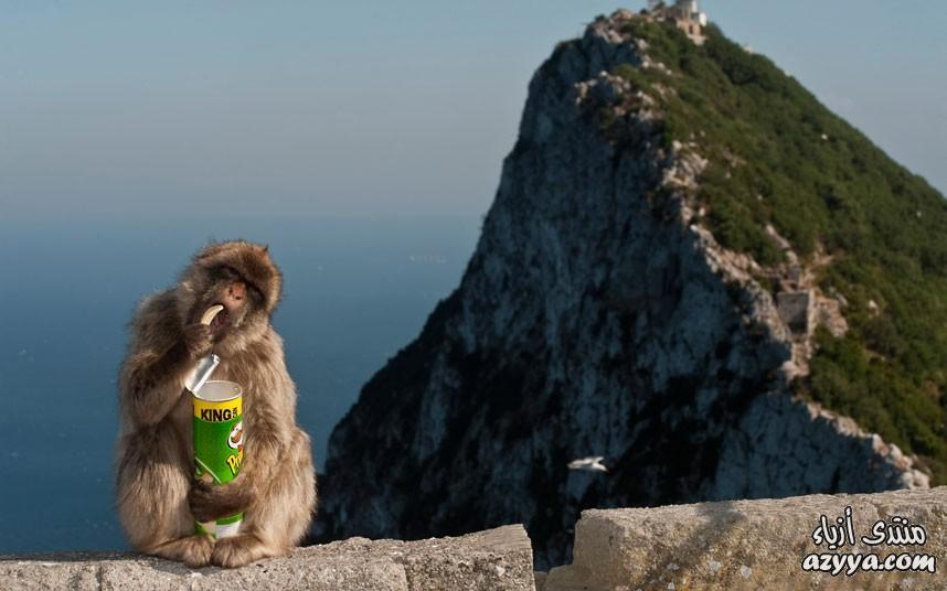 قرد برينجلز قام هذا القرد بسرقة بطاطس برينجلز من
